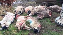 dead-sheep-killed-by-dogs-8823467