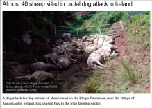 dead-sheep-killed-by-dogs