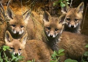 fox-cubs-88456
