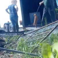 fox-cubs-at-farm-88264