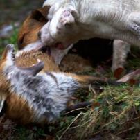 hound-attacks-fox-882645