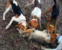 hounds-attacking-fox-449876
