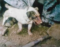 terrier1