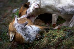 dogs-attack-fox-882574