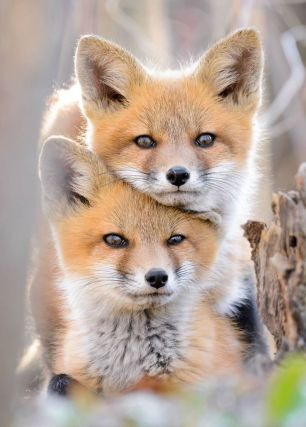 fox-cubs-22998