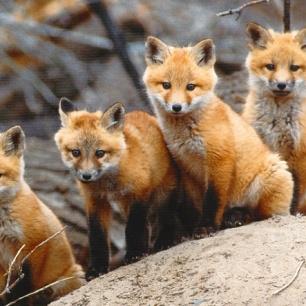 fox-cubs-8811