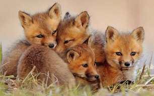 fox-cubs-99221