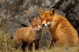 fox-with-cub-999333