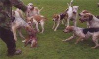 surrey-union1-hounds-attack-fox