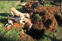 terriers-at-dig-22227