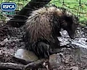 badger-in-snare-rspca-99675