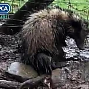 badger-in-snare-rspca-99675