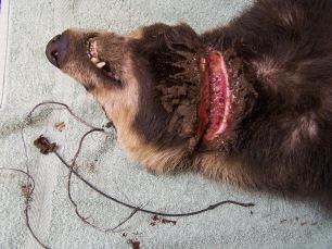 badger-in-snare-