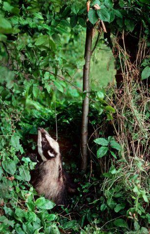 badger-in-snares