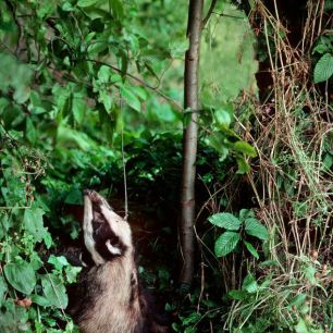 badger-in-snares