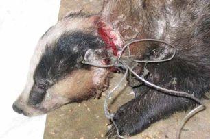 badger-snare-33453