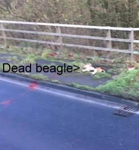 beagle-dead-on-road-778856