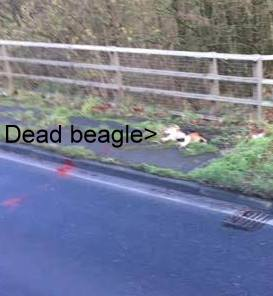 beagle-dead-on-road-778856