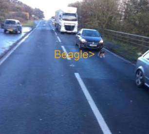 beagle-on-road-66734