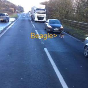 beagle-on-road-66734