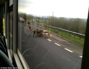 bus-sees-dogs-attack-fox-2