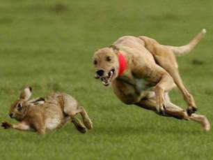 chasing-hare-33456