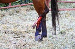 cruelty-horse-broken-leg-88345
