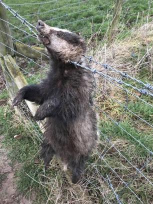 dead-badger-on-fence