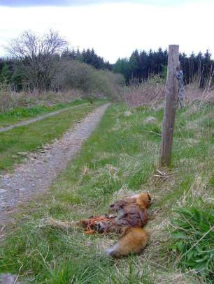 dead-fox-05469882