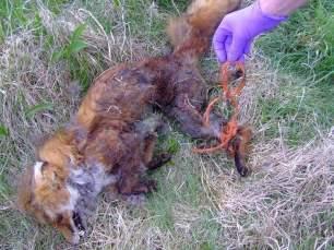 dead-fox-05476682