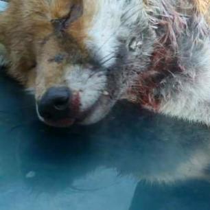 dead-fox-111000