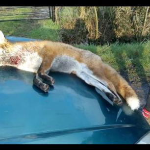 dead-fox-11123