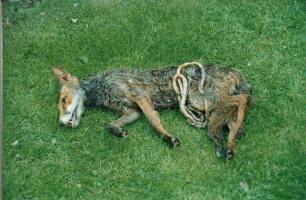 dead-fox-11231