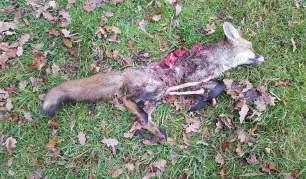 dead-fox-28673