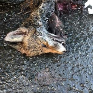 dead-fox-333924846