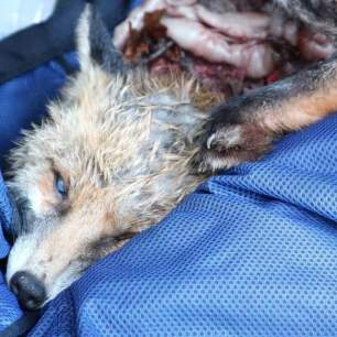dead-fox-7998543