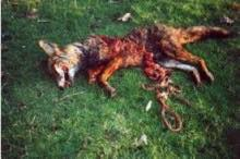 dead-fox-8811