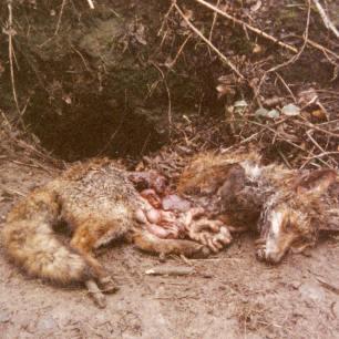 dead-fox-99121