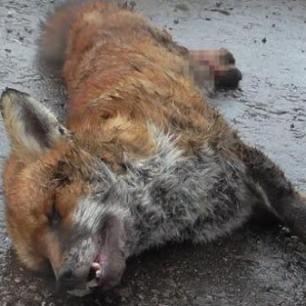 dead-fox-999121