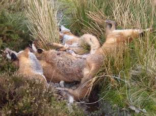 dead-foxes-568367