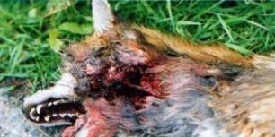 desd-fox-7721