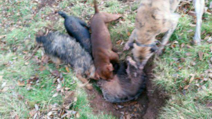 dogs-attack-badger-882734