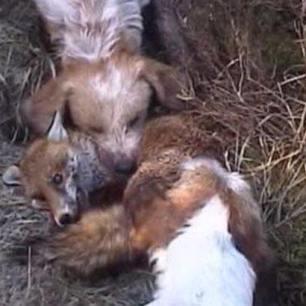 dogs-attack-fox-897069324323