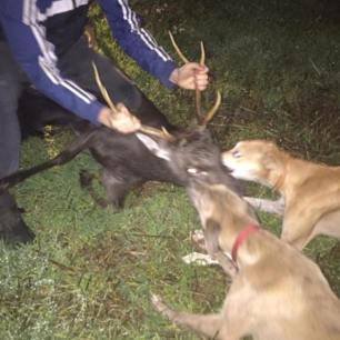 dogs-attacking-deer-992367