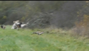 fox-bolting-9922845