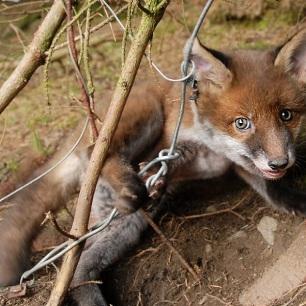 fox-cub-in-snare-228673