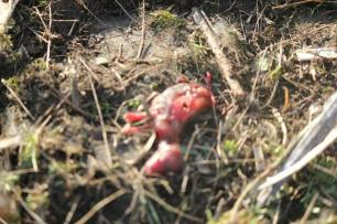 fox-foetus-001