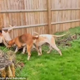 fox-hounds-in-garden-773845