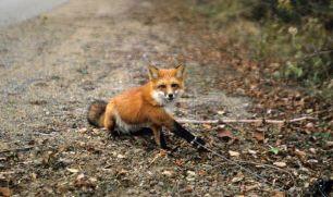 fox-in-snare-22265