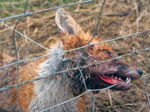 fox-in-snare-883645